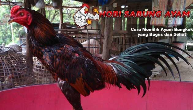 ayam bangkok yang bagus dan sehat - sabung ayam online