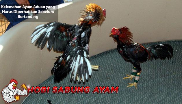 kelemahan ayam aduan - sabung ayam online