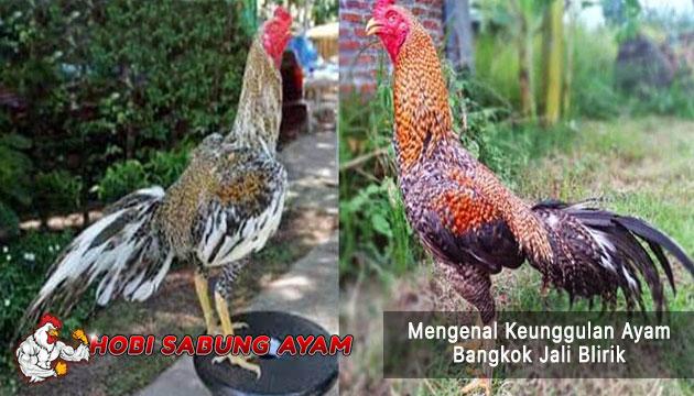 keunggulan ayam bangkok jali blirik - sabung ayam online