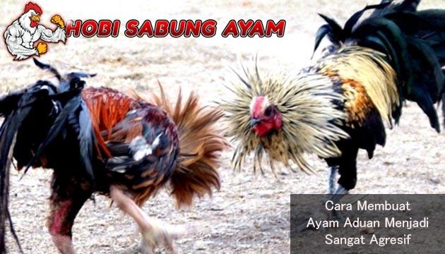 ayam aduan menjadi agresif
