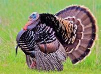 Ayam Kalkun Bronze Jantan Dewasa yang Memukau