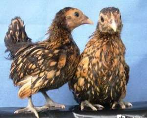 Ayam Hias -  Ayam Batik CanAyam Hias -  Ayam Batik Canadaada indukan 1