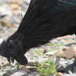 Bagaimana Asal-usul atau Sejarah Ayam Cemani?