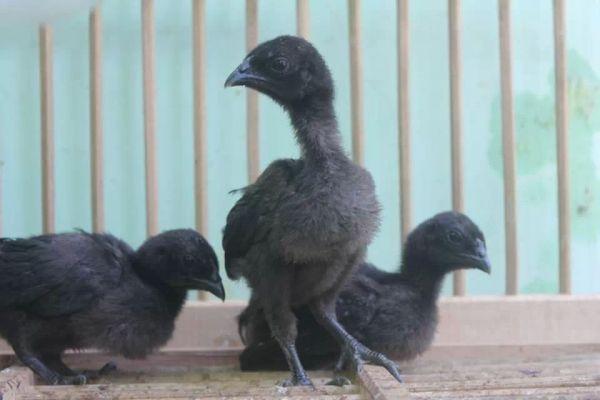 Ayam Cemani (2)