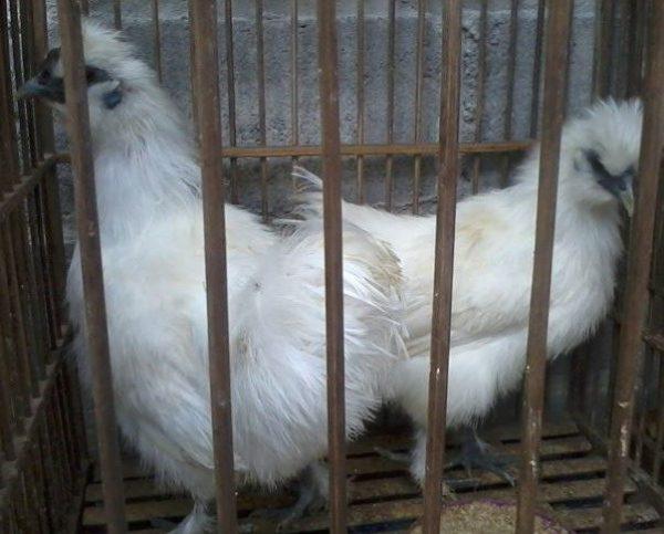 Ayam Kapas 3