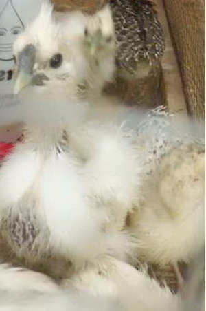 Ayam Kapas (5)