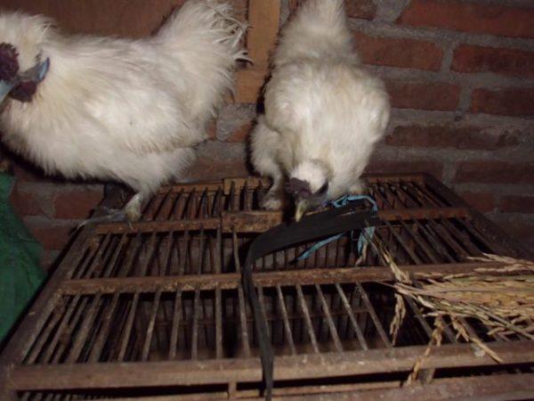 Ayam Kapas Indukan 1