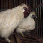 Foto Koleksi Ayam Kapas