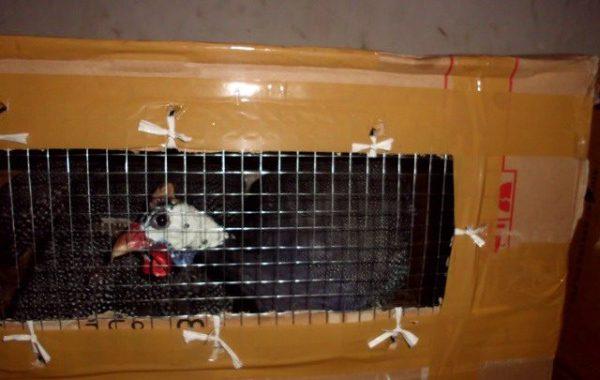 Model Pengiriman Ayam Hias (2)