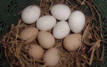 Jual Telur Cemani Asli
