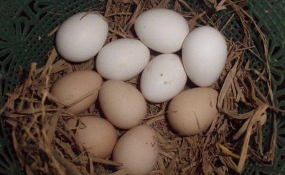 Telur jualayamhias.com (2)