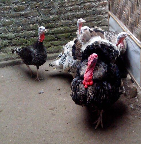 Harga Jual Ayam Kalkun di Daerah Semarang, Jakarta, Surabaya, Bekasi, Medan dan Bandung Cenderung Stabil Memunculkan Peluang Bisnis Ternak Ayam Kalkun