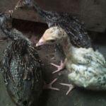 Anakan Ayam Kalkun Kirim ke Jatimakmur Pondok Gede Bekasi