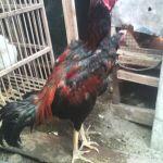 Ayam Bangkok Umur 7 Bulan Persiapan Kirim ke Kediri
