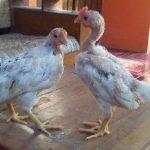 Ayam Ketawa Umur 2 Bulan Warna Putih Siap Kirim ke Tasikmalaya Jawa Barat