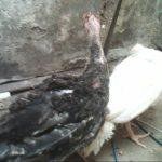 Ayam Ketawa Warna Putih, Kalkun Putih White Holland, Kalkun Bronze dan Ayam Kapas Persiapan Kirim ke Jakarta, Bandung dan Sukabumi