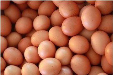 Cara Mudah Meningkatkan Produktifitas Telur dalam Ternak Ayam Kampung