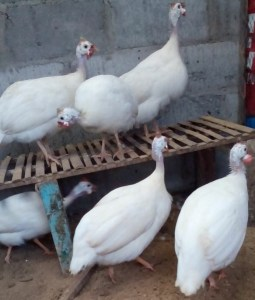 Jual Ayam Mutiara Putih