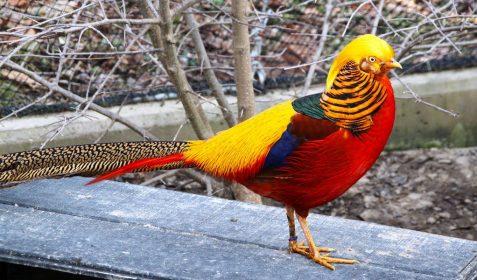 Jual Ayam Golden Pheasent