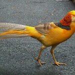 Ternak Ayam Yellow Pheasant Sebagai Hobi keluarga