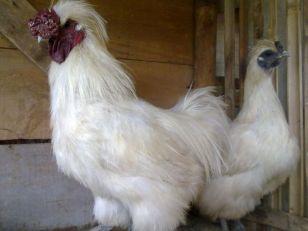 jenis ayam kapas