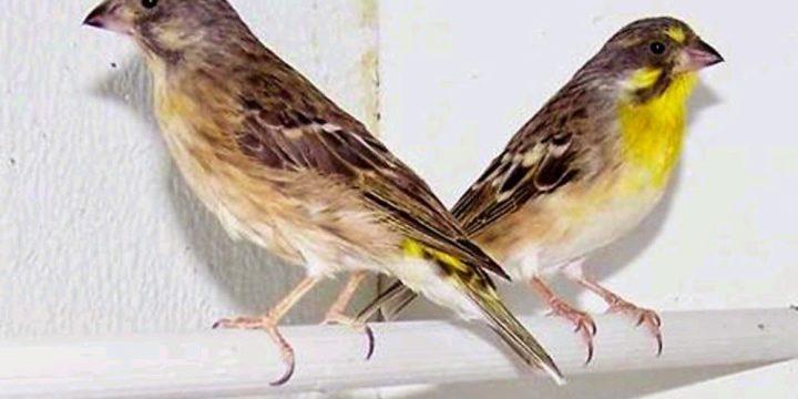 Mengenal Sejarah Burung Kenari