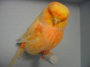 Kenari, Burung Kenari, Kicau Kenari, Suara Kenari, Jenis Kenari, Ternak Burung Kenari, Jual Burung Kenari, Harga Burung Kenari