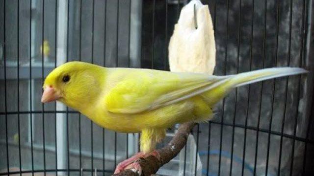 4 Alasan Menjadi Penghobi Burung Kenari