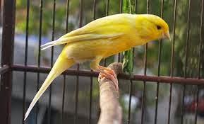 Burung kenari, ternak kenari, jual kenari, suara kenari, cara membawa kenari jarak jauh, cara membawa cendet perjalanan jauh