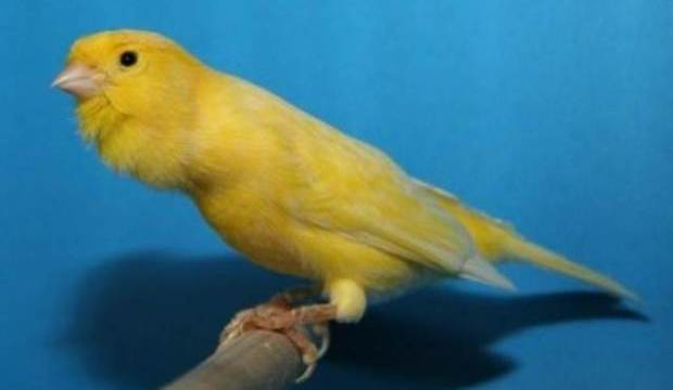 4 Hal Penting dalam Memberikan Pakan untuk Anakan Burung Kenari