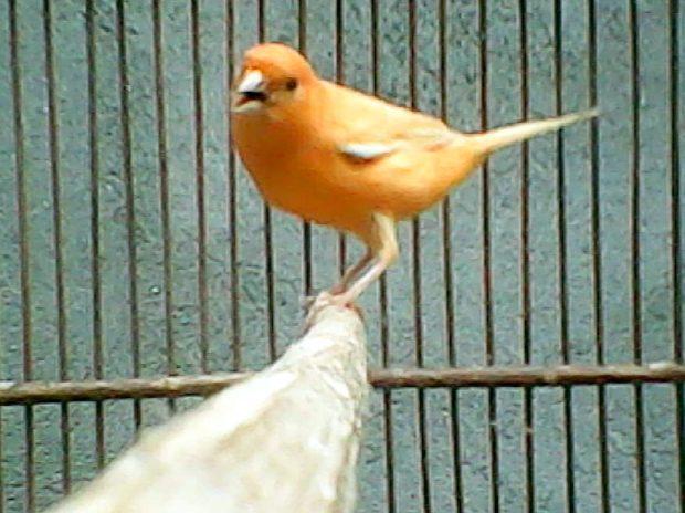 Kenari, Burung Kenari, Jenis Kenari, Ternak Kenari, Suara Kenari, Kicau Kenari, Jual Burung Kenari, Harga Burung Kenari
