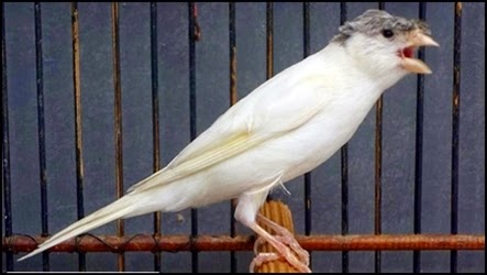 Burung kenari, ternak kenari, cara mengatasi suara serak pada kenari, cara mengatasi suara serak atau hilang, cara mengatasi suara serak pada kacer