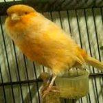 Penyebab Burung Kenari Stres dan Cara Mengatasinya