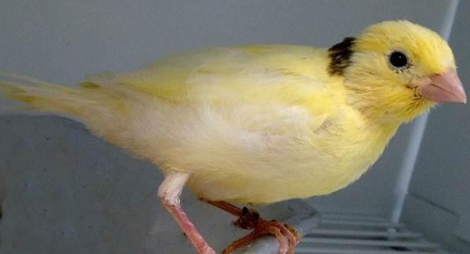 4 Hal yang Perlu di Perhatikan Saat Membawa Burung Kenari Dalam Perjalanan Jauh