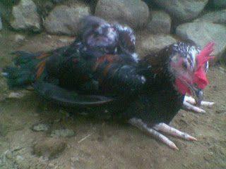 Penyakit Lumpuh Pada Ayam