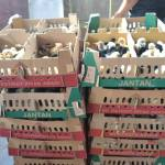 Manfaat Probiotik Pada Peternakan Ayam Kampung Super