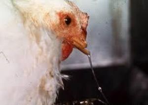 Penyakit Snot atau Pilek Pada Ayam Jawa Super