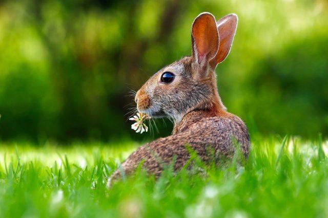 Kelinci kerap menggerak - gerakan telinganya, hal ini dikarenakan telinga kelinci mampu mendeteksi keadaan di lingkungan sekitar | image 4