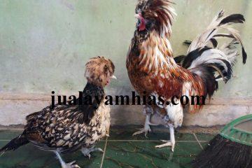 Ayam Poland