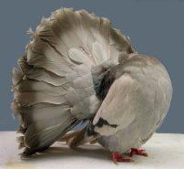 fantailsilver-barred