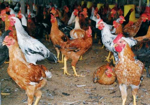 Ayam Kampung Super/JOPER persilangan ayam bangok pejantan dengan petelur betina
