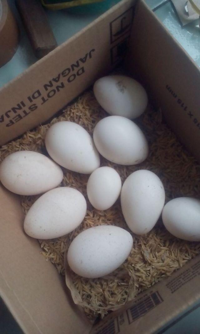 Persiapan Pengiriman Telur dengan Media Sekam