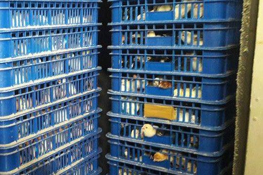 Pengiriman DOC Ayam Kampung Super Pesanan Bapak Heru di Bandung