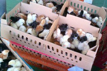 Warna dari ayam Joper bulunya campura yaitu hitam, putih dan ada yang cokelat