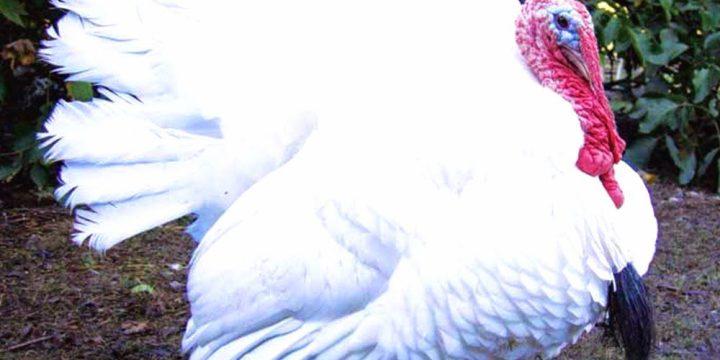 6 Manfaat Daging Ayam Kalkun Untuk Kesehatan Tubuh