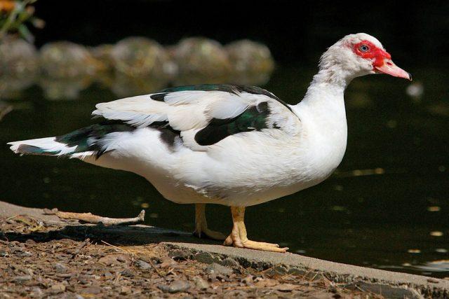 Bentuk tubuh bebek manila sangat besar, beratnya bisa mencapai 3-7 kg.   Image 5