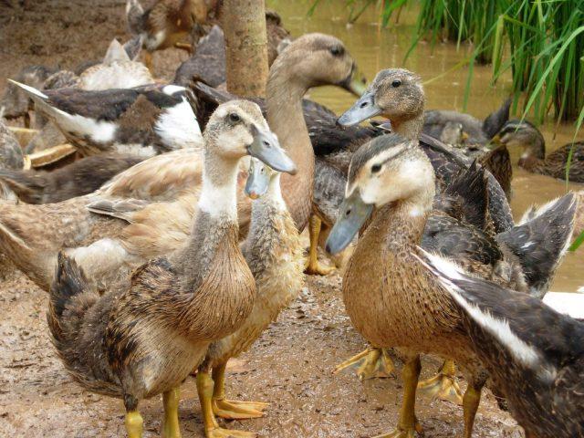 Bebek tiktok merupakan hasil persilangan antara entok jantan dari Taiwan dan bebek Alabio betina   Image 4
