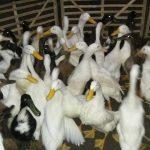 Pemeliharaan Bebek Pedaging Agar Pertumbuhannya Lebih Cepat