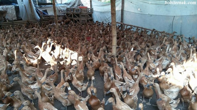 Bebek Lokal Mojosari adalah salah satu jenis bebek petelur yang banyak di minati oleh para peternak