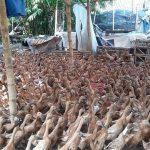 Menganalisa Keuntungan Ternak Bebek Petelur